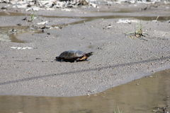 Turtle, Midland Painted  (Chrysemys picta) Stock Photography