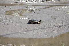Turtle, Midland Painted  (Chrysemys picta) Stock Photo
