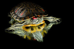 Turtle on the mirror Royalty Free Stock Images