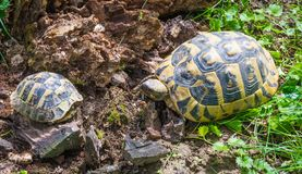 Turtle mom and little turtle walking on the grass. Geochelone sulcata. Turtle mom and little turtle walking on the grass in springtime. Geochelone sulcata Stock Photo
