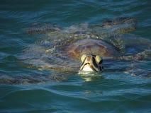 Turtle in Monkey Mia. Shark Bay Western Australia royalty free stock photos