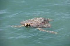 Turtle in Monkey Mia. Shark Bay Western Australia royalty free stock photography