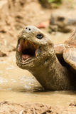 Turtle with mouth wide open Stock Images