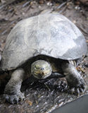 Turtle move slow in the zoo Stock Image