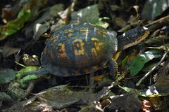 Swamp Turtle Moseying Along royalty free stock photography
