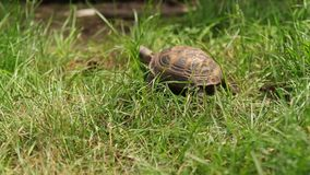 Turtle moving on fresh green grass stock video