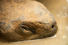Turtle in the mud Royalty Free Stock Photography