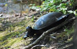 Turtle in natural environment. A snapping turtle in its natural environment beside a lake Stock Image