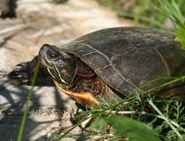Turtle in nature. Little turtle in nature during summer Stock Photography