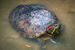 Turtle in nature Stock Photo