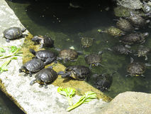 Turtle near pond Royalty Free Stock Photography