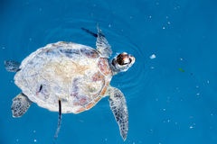 Turtle near Sipadan white sand beach Royalty Free Stock Photo