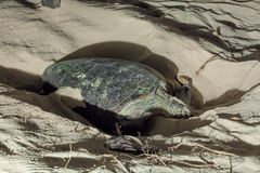 Turtle Nesting Royalty Free Stock Images