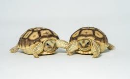 Turtle Newborn sulcata. Pet shell tortoise zoo giant yellow animal turtle house nature creature land Royalty Free Stock Photography