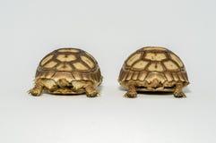 Turtle Newborn sulcata. Pet shell tortoise zoo giant yellow animal turtle house nature creature land Royalty Free Stock Photo
