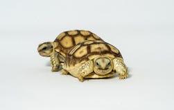 Turtle Newborn sulcata Stock Image