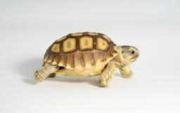 Turtle Newborn sulcata Stock Photos