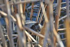 The turtle in the reeds Royalty Free Stock Photo