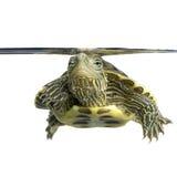 Turtle - OCADIA SINENSIS Royalty Free Stock Image