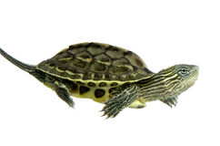 Turtle - OCADIA SINENSIS Royalty Free Stock Photography