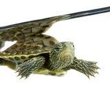 Turtle - OCADIA SINENSIS Royalty Free Stock Photo
