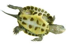 Turtle - OCADIA SINENSIS Stock Image
