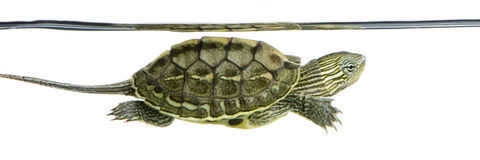 Turtle - OCADIA SINENSIS Stock Photos
