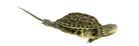 Turtle - OCADIA SINENSIS Stock Photos