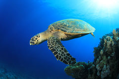 Turtle in the ocean stock images