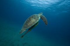 Turtle in ocean. A green turtle swimming in the ocean, underwater photo Royalty Free Stock Image