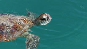 Turtle on the ocean shot. A bird`s eye view shot of a turtle on the ocean. Camera tracks the movement of the turtle stock video footage
