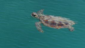 Turtle on the ocean shot. A bird`s eye view shot of a turtle on the ocean. Camera tracks the movement of the turtle stock video