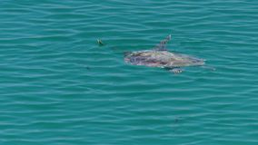Turtle on the ocean shot. A medium shot of a turtle on the ocean. Camera tracks the movement of the turtle stock footage