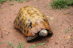 Turtle. Old turtle creeping around after rain stock photo