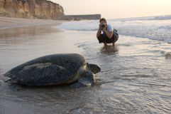 Turtle on a Oman beach. Tartle travelling toward the sea after having layed her eggs on the beach Stock Photos