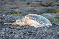 Free Turtle On A Black Sand Beach In Hawaii. Big Island, USA. Stock Photos - 113580163