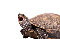 Turtle with open mouth. Isolated on white background Royalty Free Stock Photo