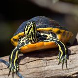 Turtle outdoor Royalty Free Stock Photography