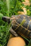 Turtle over the pipe overcoming obstacles. In the garden Stock Photos