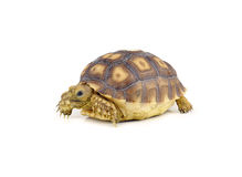 Turtle on over white background Stock Images