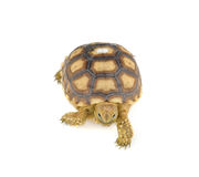 Turtle on over white background Royalty Free Stock Image