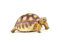 Turtle on over white background Stock Photos