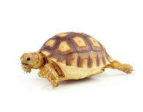 Turtle on over white background Stock Photography