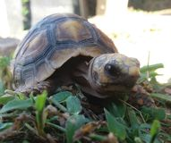 Turtle over world. Tortoise on the world Stock Images