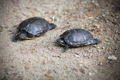 Turtle pair Stock Photo