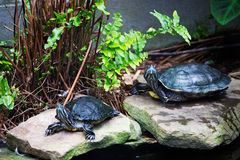 Turtle pair Stock Photography