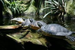 Turtle parade. Four turtles sunning themselves while sitting on a log stock photos