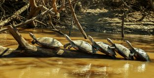 Turtle Parade in the Amazon. This Turtle Parade in the Amazon was so funny to witness, they were just chilling out there royalty free stock photo