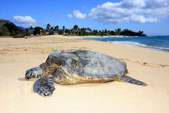 Turtle in paradise. A beautiful Hawaiian Green Sea Turtle rests on a beach Stock Photos