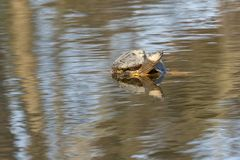 Turtle in a park in Amsterdam in Spring stock image